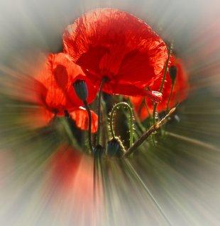 Blütenexplosion von Didjeh