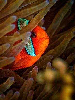 Glühkohlen-Anmonenfisch von latediver
