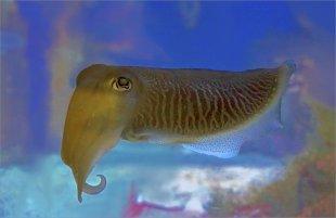 Common Cuttlefish von FMW51