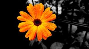 Ringelblume von SonyAlpha380