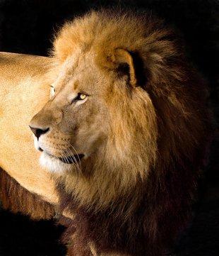 Löwenportrait von hjmedi