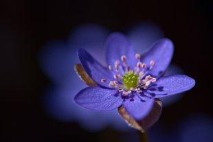Leberblümchen von Peter Stenzel