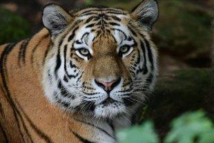 Tiger von Sven Büttner