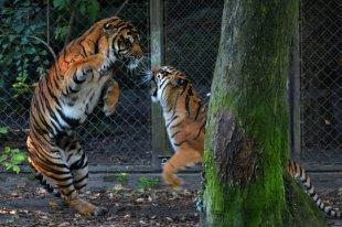 Sibirische Tiger 1 von H-W W