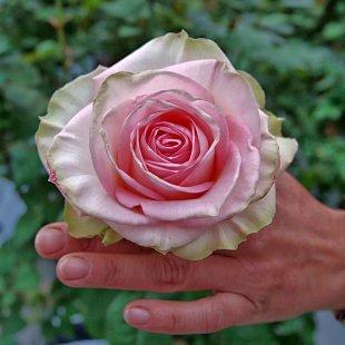 Keine Rose ist ohne Dornen von Jademax