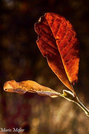 Herbstblatt von Secundannte