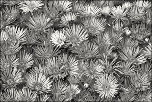 Blumen von ispin