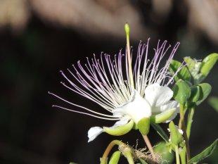 schönheit der Caperi von Raniluc
