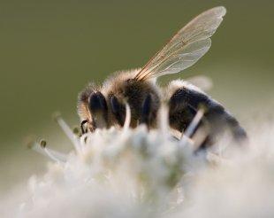 Biene von Johannes Leckebusch
