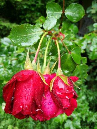 Rot blühen die Rosen von Jademax