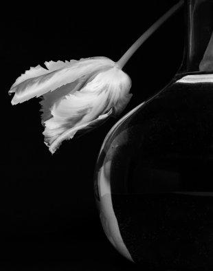Stille Zeit mit einer Tulpe... von F. Teschler