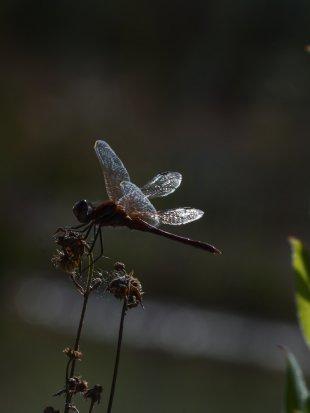 Libelle beim Sonnenuntergang von Harry Dona