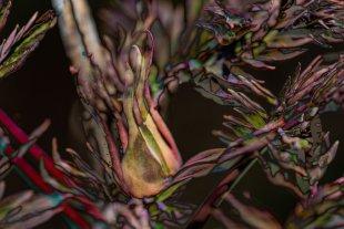 Blütenknospe an Paeonie/Baumpfingstrose von OscarCarlo
