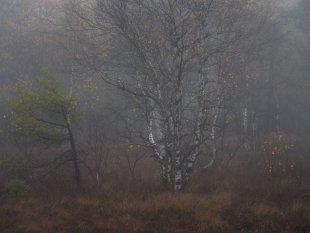 Birke im Schwarzen Moor von FelixW80