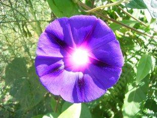 Sonnenblume von dx1