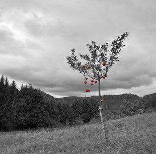 rote Äpfel von Pfalzknipser
