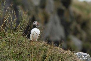 Island - Papageitaucher - Puffin von Boa88