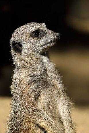 African Meerkat von Veroja