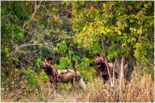 Afrikanische Wildhunde von dietele