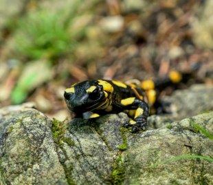 Salamander von pic