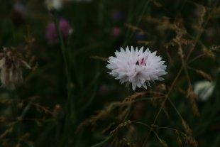 White Cornflower von tlufotos