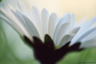 Gänseblümchen von Vera Creutz Fotografie
