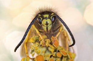 Kleine Wespe von Ralph Budke