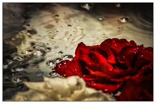 Rosen im Wasserbecken von Bernd Seibel