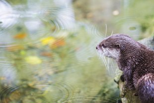 Regentropfen, die in den Teich rein plopsen von JensonR