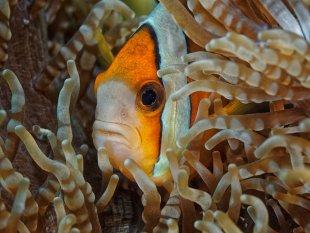 Anemonenfisch von latediver