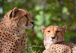 Geparden (Zoo Köln) von WolfSta56