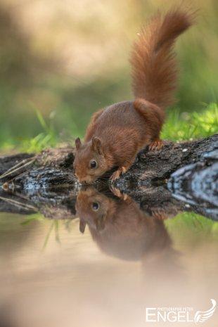 Durstiges Hörnchen von Peter-Engel-Photographie