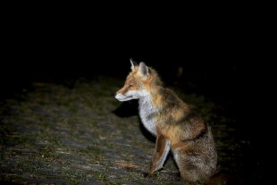 FOX is waiting for me ! von Texas Longhorn