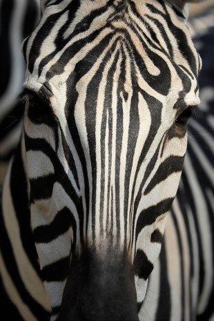African zebra von Veroja