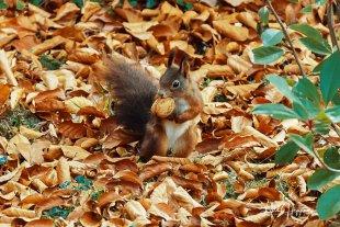 Eichhörnchen mit Nuss von Fotoblogger