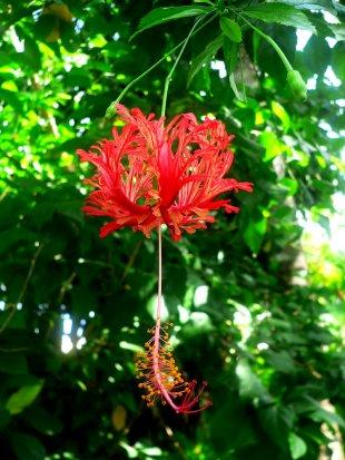 Tropische rote Blüte Indonesien Bali von RüdigerLinse