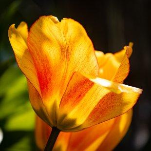 Tulpe 2 von DiSe.fotografie
