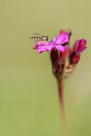 Kartäusernelke - Schwebfliege von Makromann