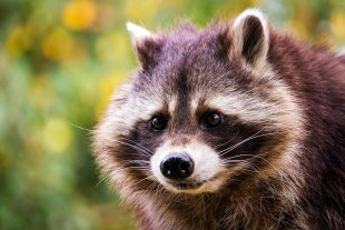 Common raccoon von Veroja