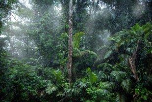 regen im regenwald von muscipulaa