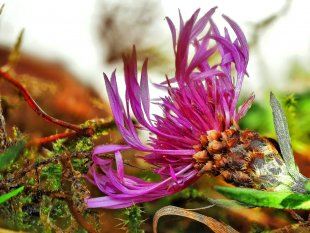 Flockenblume von Eberhard  Schmidt-Dranske