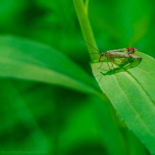 Männliche Skorpionsfliege von Horst Husheer Fotografie