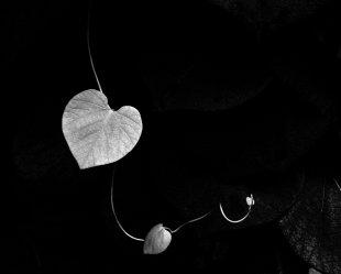 Aristolochia SW von vl-fotografie
