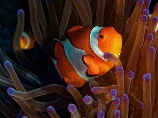 Westlicher Clownfisch von latediver