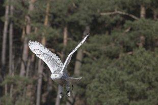 Vogel-V von JensonR
