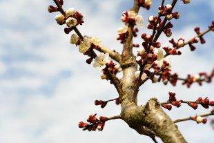 Aprikosenblüten von Secundannte