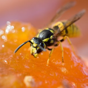 Wespe von 35mm