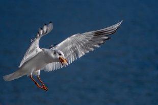 See- und Küstenvögel von Kupfer43