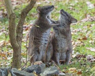 Kangaroos in Love von FMW51