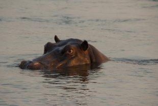 Flusspferd im Sambesi von maegges65